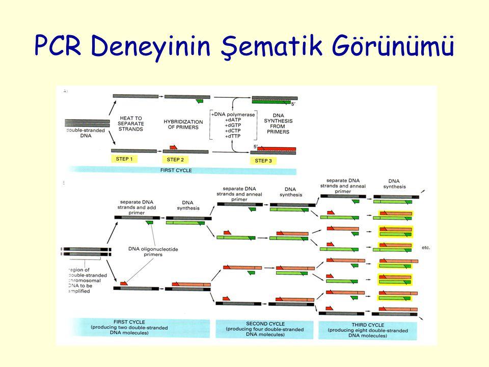 PCR Deneyinin Şematik Görünümü