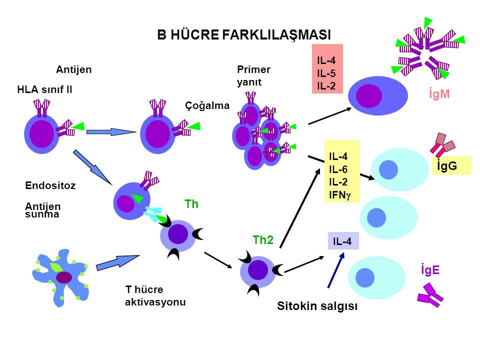 B HÜCRE FARKLILAŞMASI İgM İgG Th Th2 İgE Sitokin salgısı IL-4 IL-5