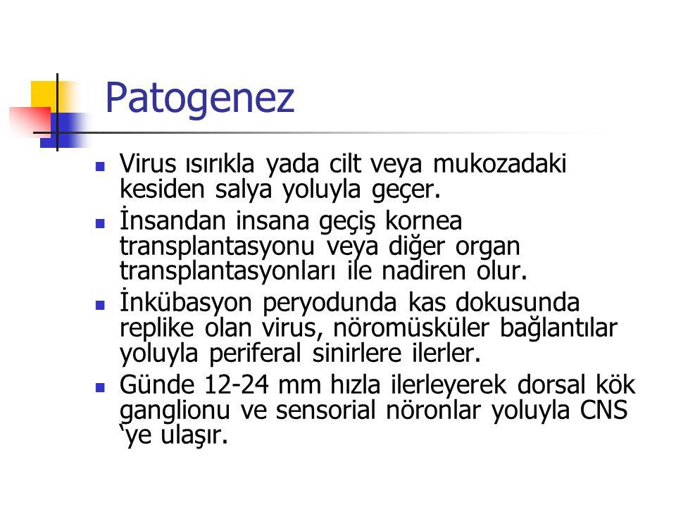 Patogenez Virus ısırıkla yada cilt veya mukozadaki kesiden salya yoluyla geçer.