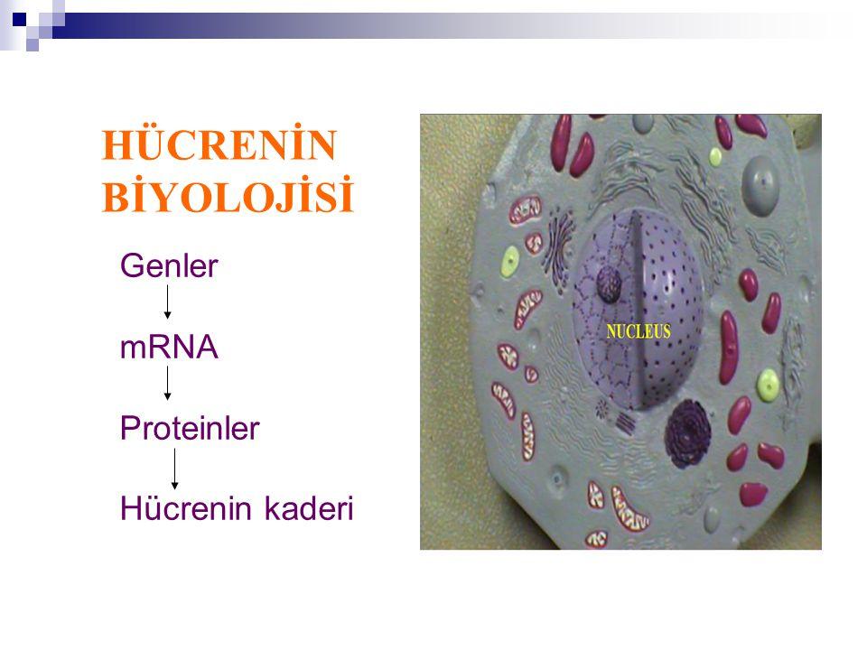 HÜCRENİN BİYOLOJİSİ Genler mRNA Proteinler Hücrenin kaderi