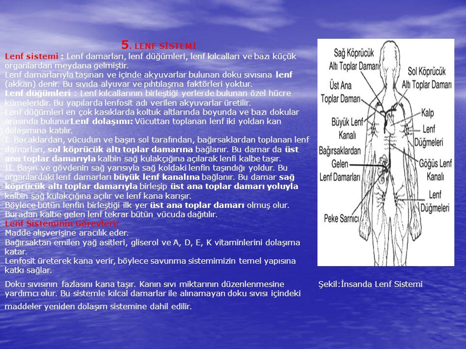 5. LENF SİSTEMİ Lenf sistemi : Lenf damarları, lenf düğümleri, lenf kılcalları ve bazı küçük organlardan meydana gelmiştir.