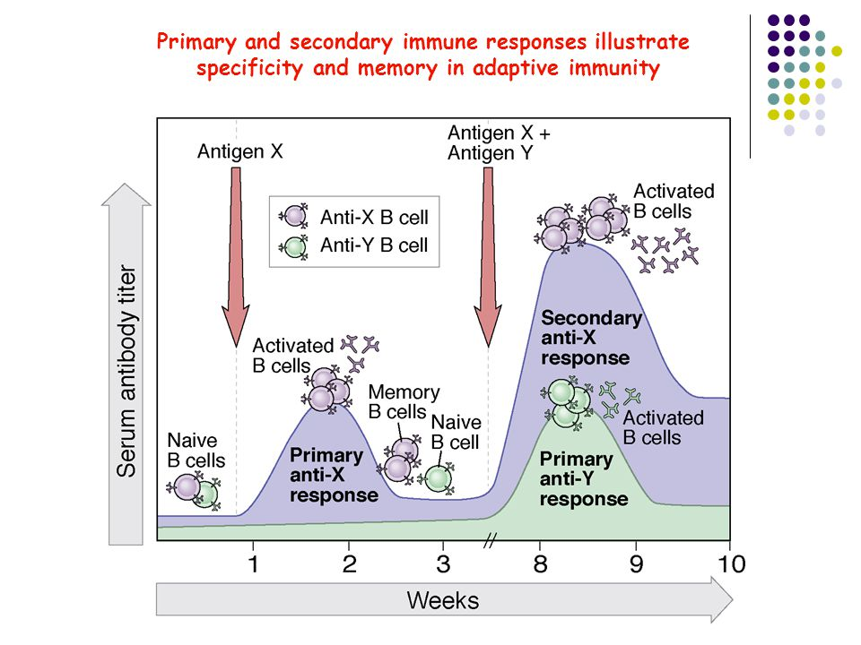 Primary and secondary immune responses illustrate