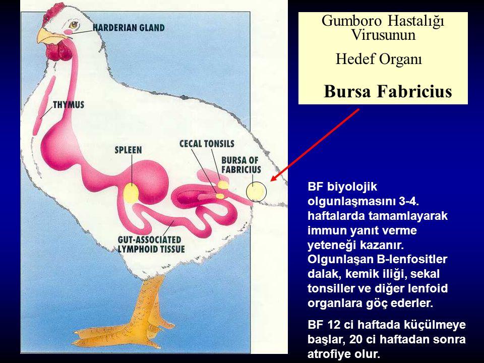 Gumboro Hastalığı Virusunun