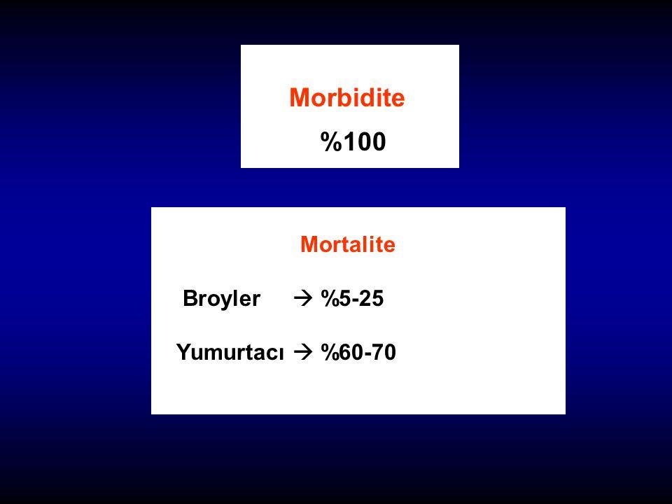 Mortalite Broyler  %5-25 Yumurtacı  %60-70
