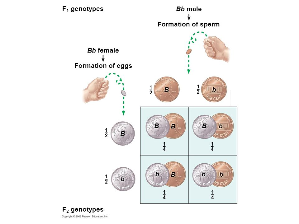 F1 genotypes Bb male Formation of sperm Bb female Formation of eggs B