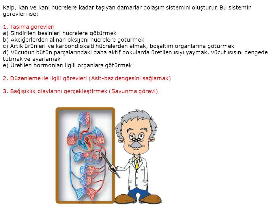 Kalp, kan ve kanı hücrelere kadar taşıyan damarlar dolaşım sistemini oluşturur.