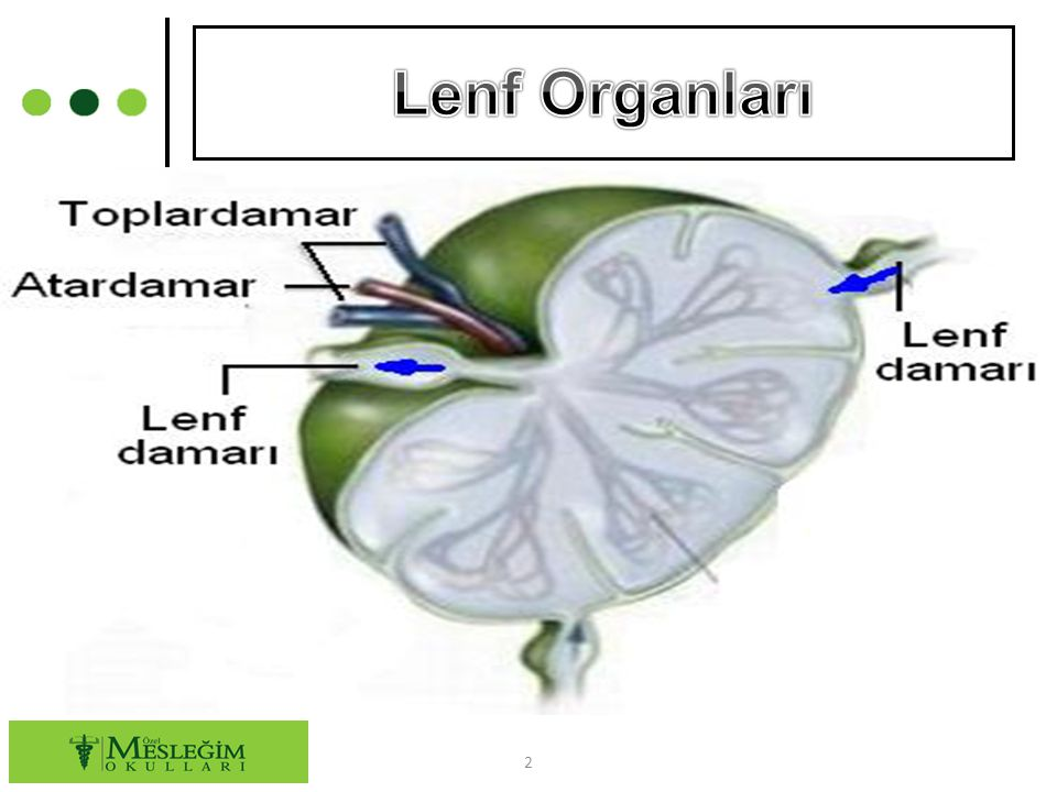Lenf Organları