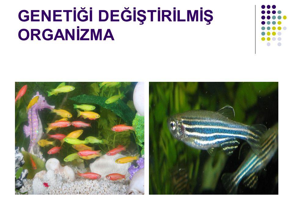 GENETİĞİ DEĞİŞTİRİLMİŞ ORGANİZMA