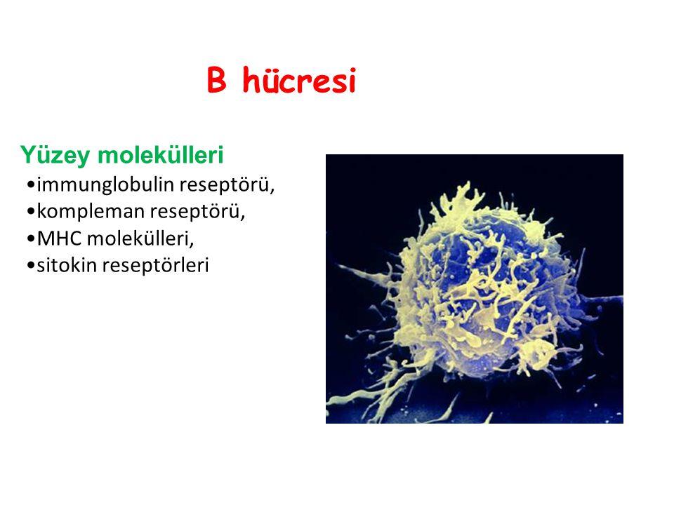 B hücresi Yüzey molekülleri immunglobulin reseptörü,