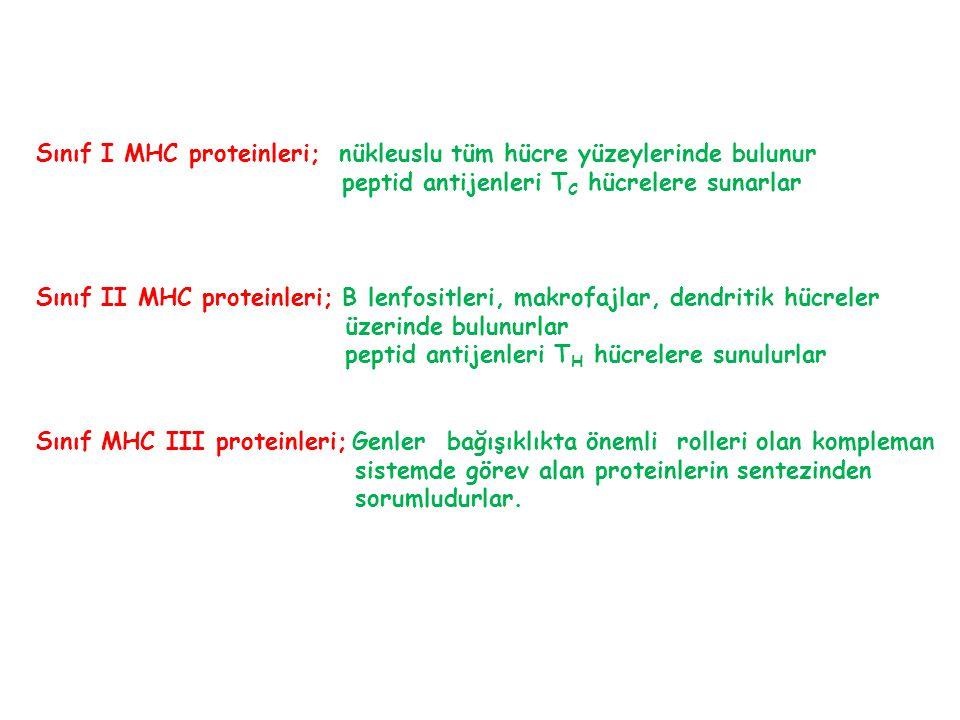 Sınıf I MHC proteinleri; nükleuslu tüm hücre yüzeylerinde bulunur