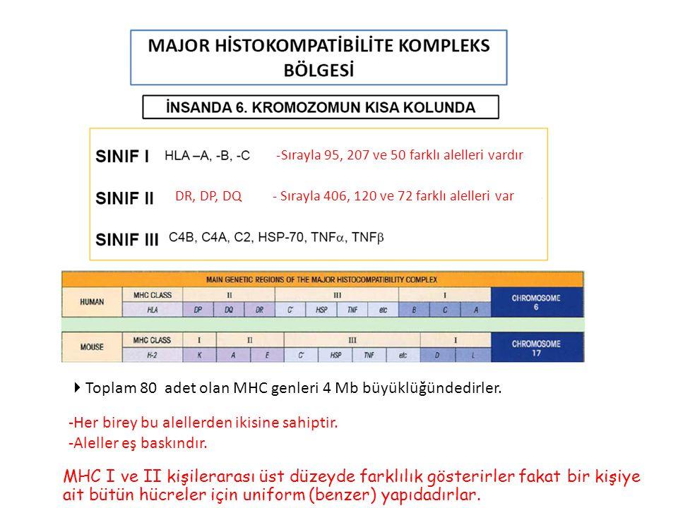 Toplam 80 adet olan MHC genleri 4 Mb büyüklüğündedirler.
