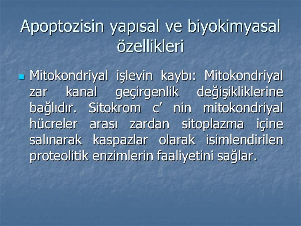 Apoptozisin yapısal ve biyokimyasal özellikleri