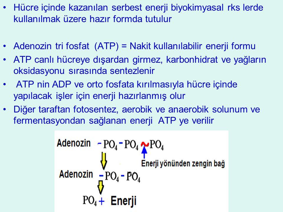 Hücre içinde kazanılan serbest enerji biyokimyasal rks lerde kullanılmak üzere hazır formda tutulur