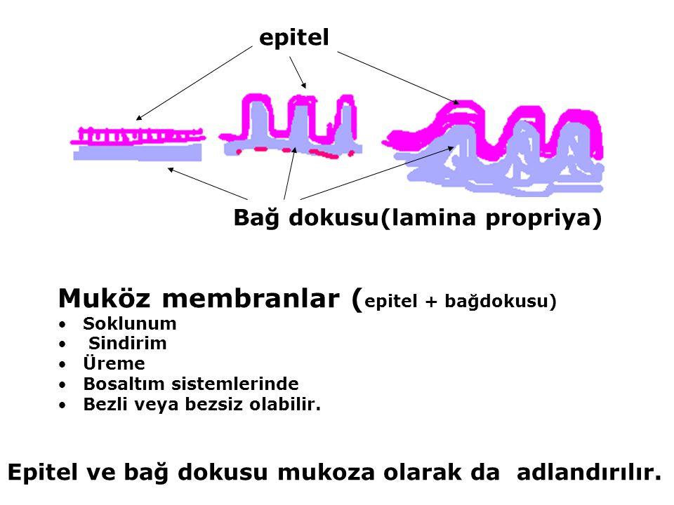 Muköz membranlar (epitel + bağdokusu)