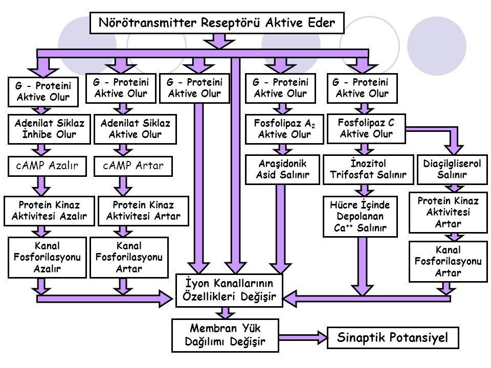 Nörötransmitter Reseptörü Aktive Eder Sinaptik Potansiyel
