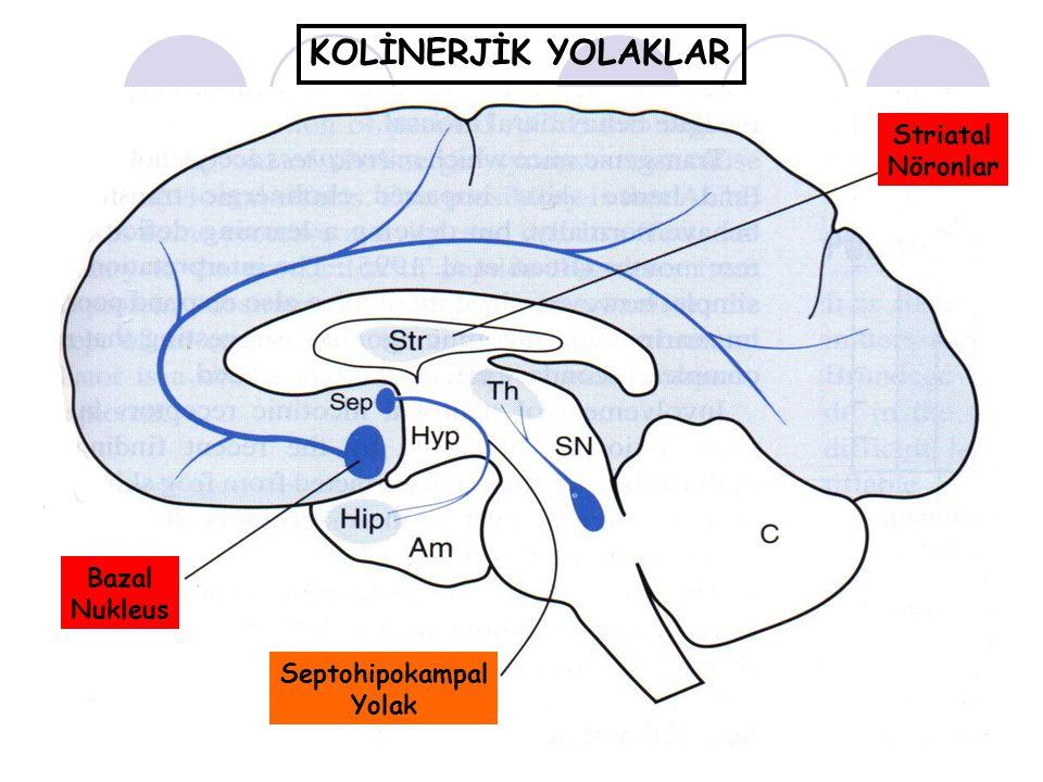 KOLİNERJİK YOLAKLAR Striatal Nöronlar Bazal Nukleus Septohipokampal