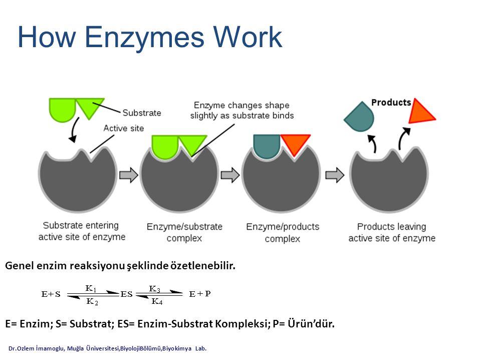 How Enzymes Work Genel enzim reaksiyonu şeklinde özetlenebilir.