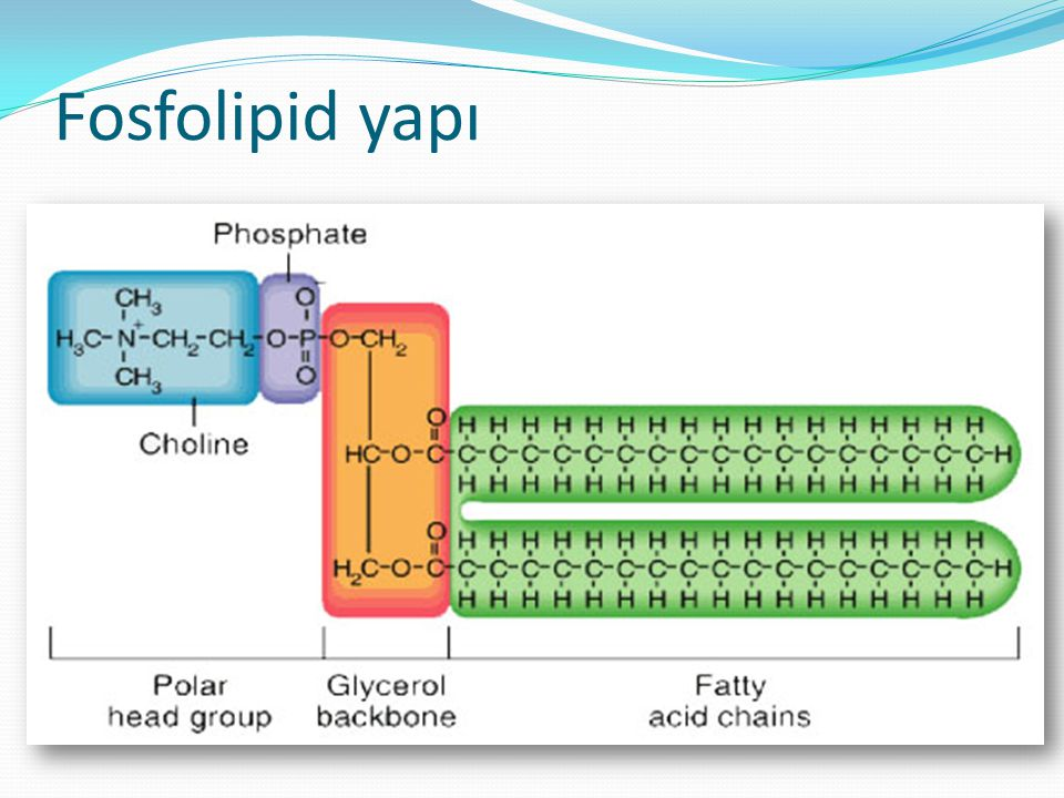 Fosfolipid yapı