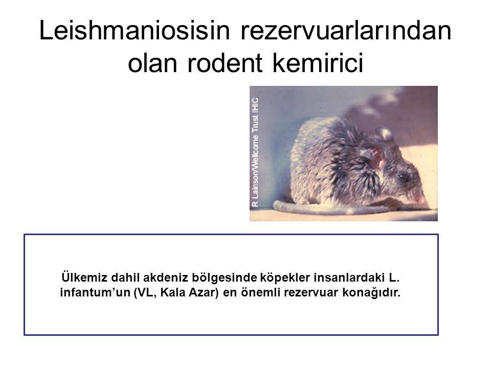 Leishmaniosisin rezervuarlarından olan rodent kemirici