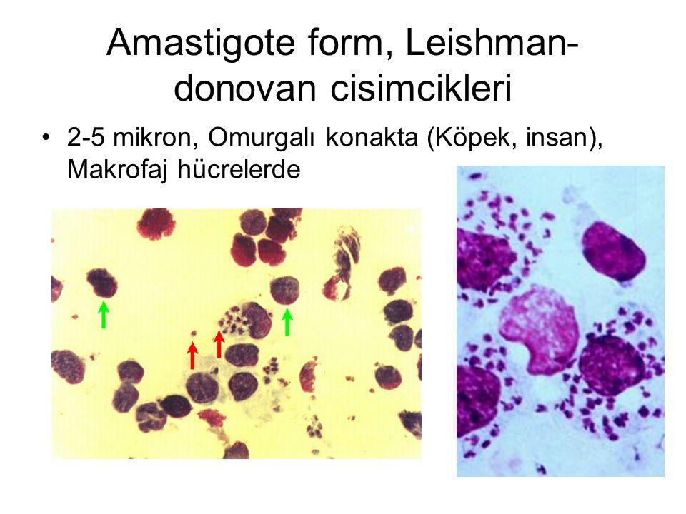 Amastigote form, Leishman-donovan cisimcikleri