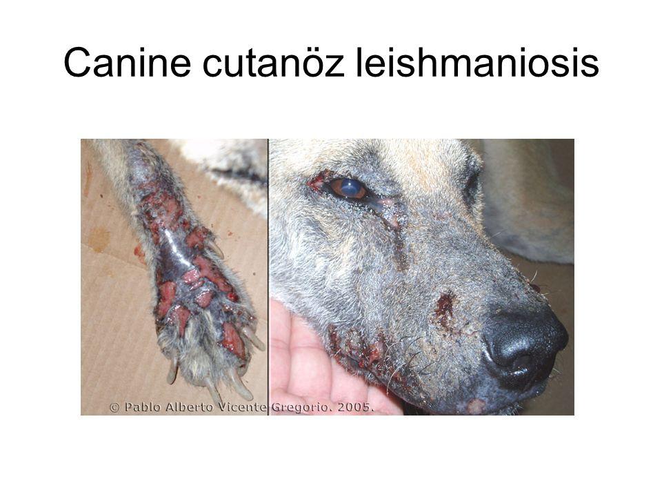 Canine cutanöz leishmaniosis