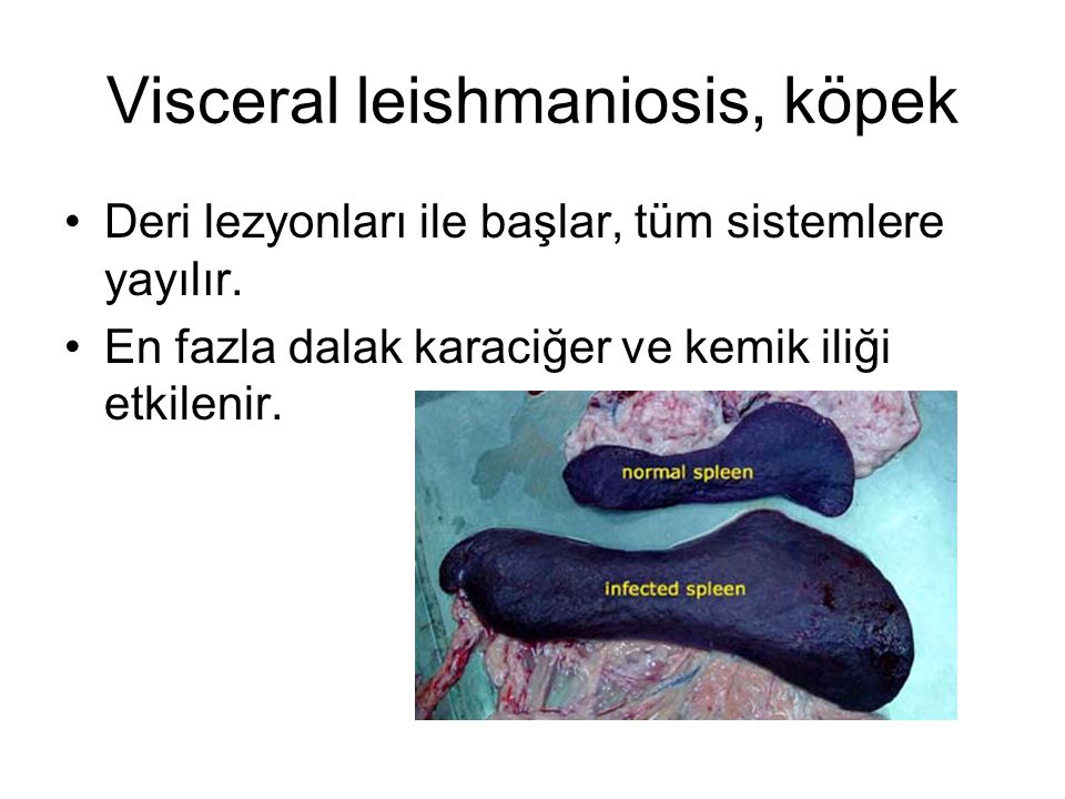 Visceral leishmaniosis, köpek