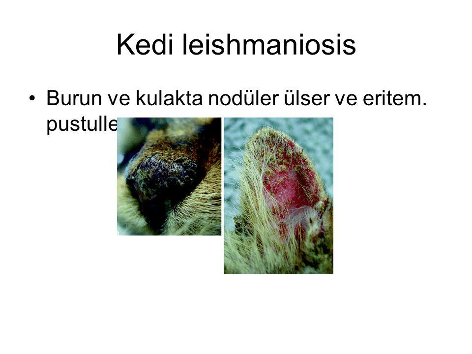 Kedi leishmaniosis Burun ve kulakta nodüler ülser ve eritem. pustuller