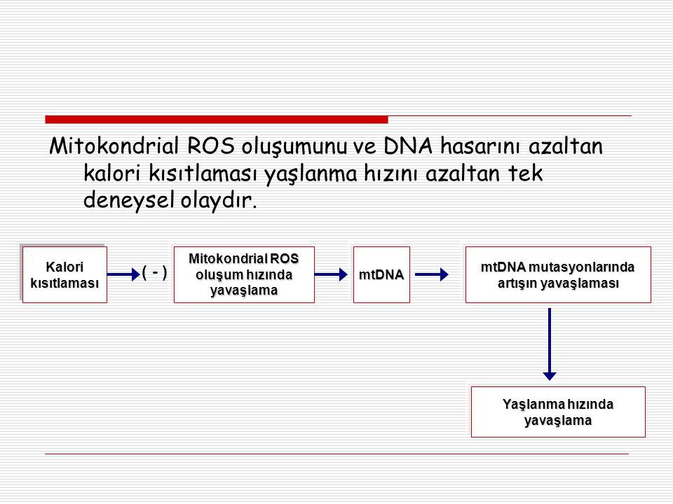 Mitokondrial ROS oluşumunu ve DNA hasarını azaltan kalori kısıtlaması yaşlanma hızını azaltan tek deneysel olaydır.