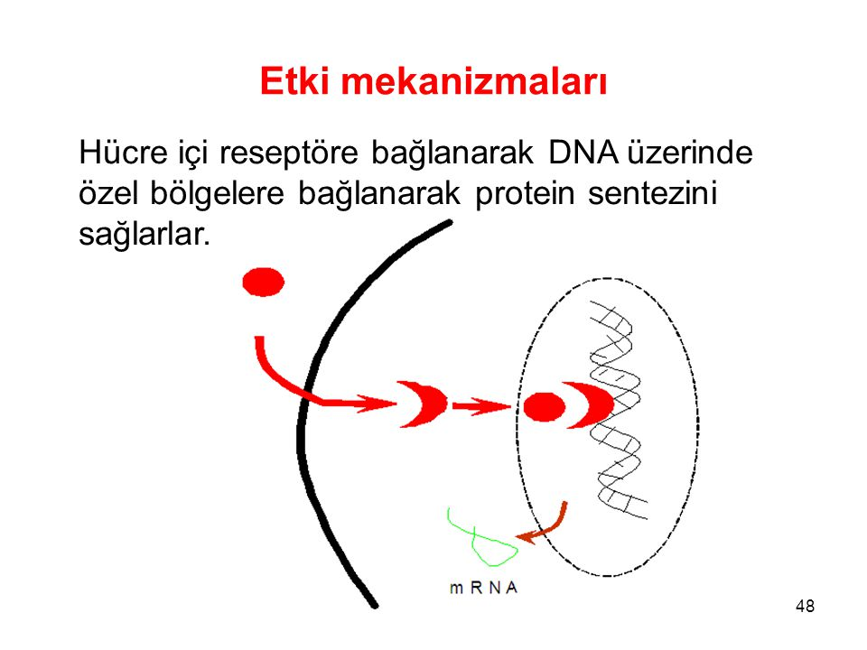 Etki mekanizmaları Hücre içi reseptöre bağlanarak DNA üzerinde özel bölgelere bağlanarak protein sentezini sağlarlar.