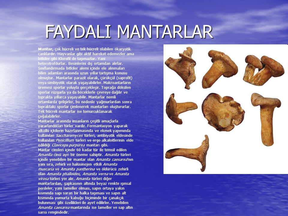 FAYDALI MANTARLAR