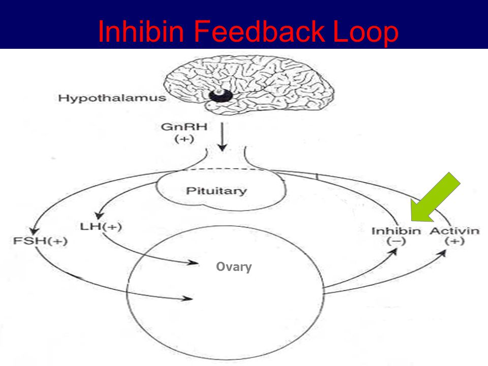 Inhibin Feedback Loop Ovary