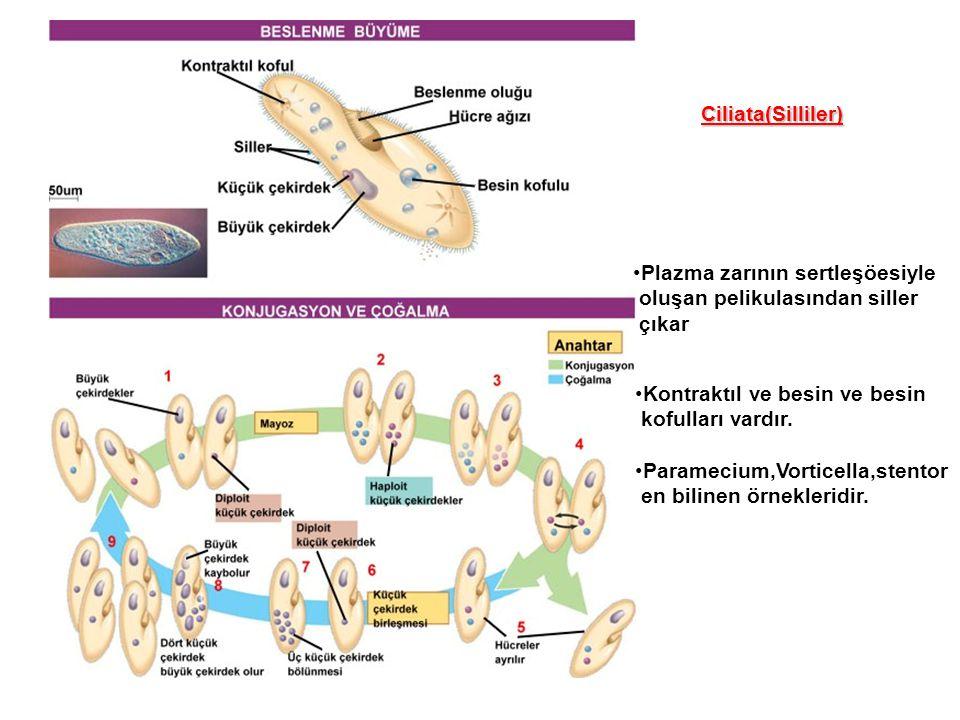 Plazma zarının sertleşöesiyle oluşan pelikulasından siller çıkar