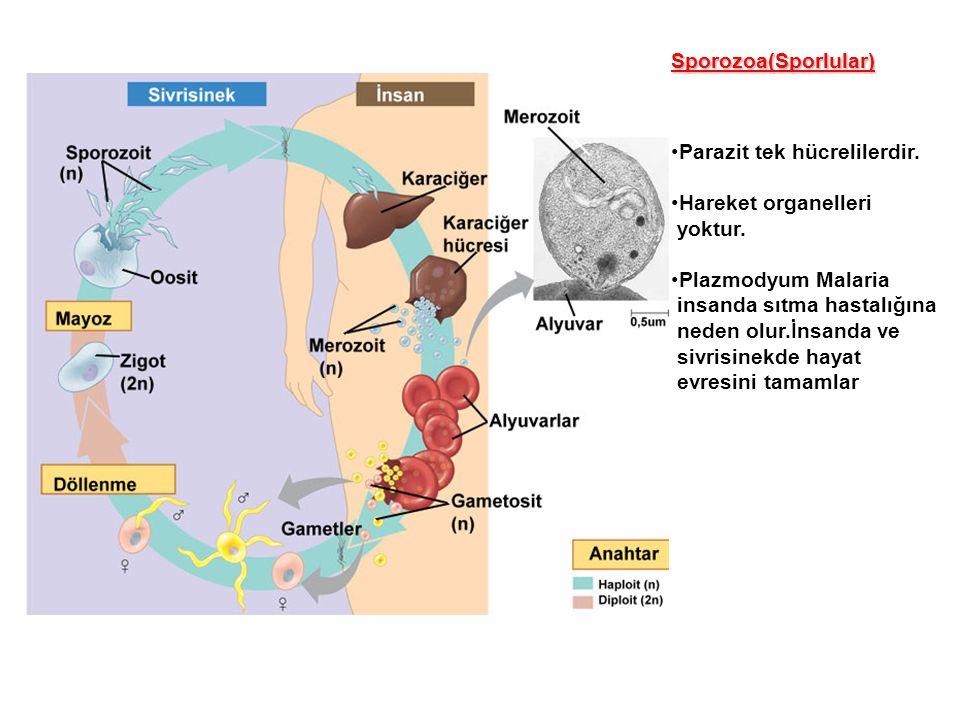 Sporozoa(Sporlular) Parazit tek hücrelilerdir. Hareket organelleri. yoktur. Plazmodyum Malaria. insanda sıtma hastalığına.