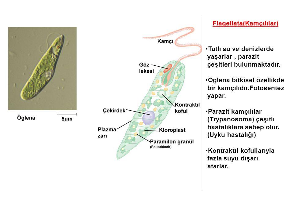 Flagellata(Kamçılılar)