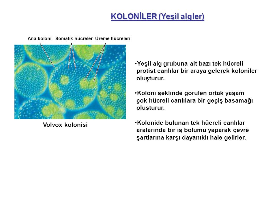 KOLONİLER (Yeşil algler)