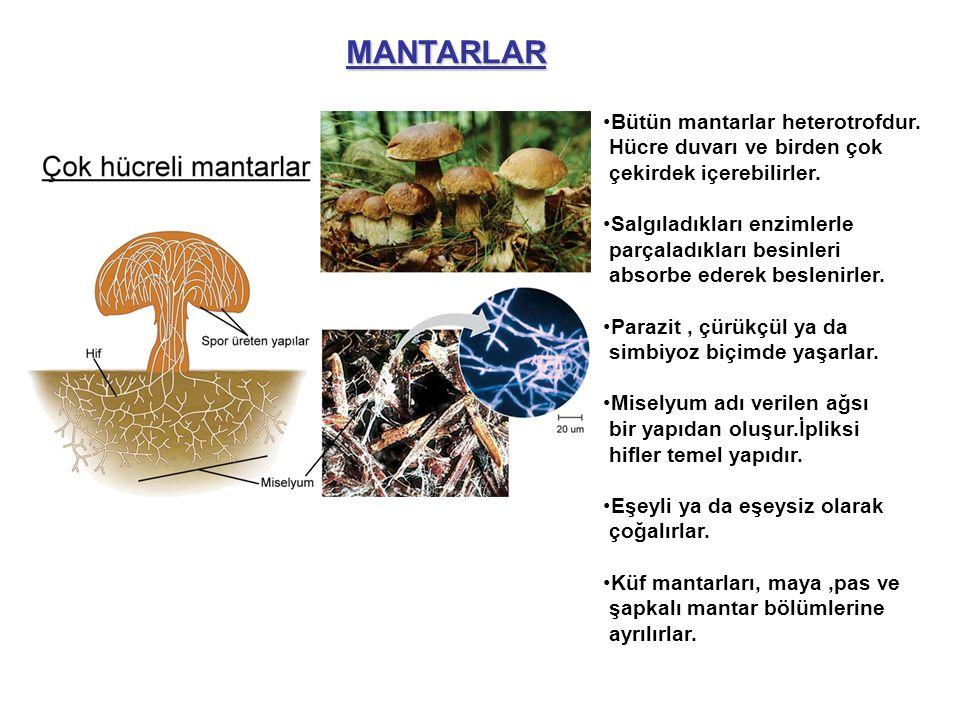 MANTARLAR Bütün mantarlar heterotrofdur. Hücre duvarı ve birden çok