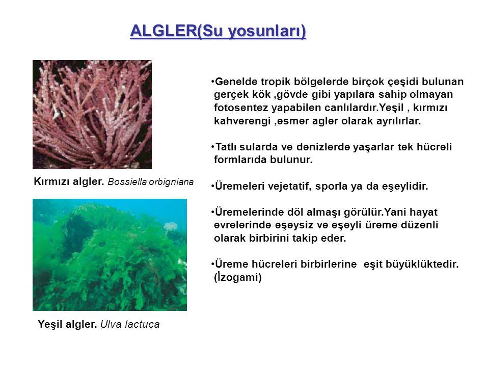ALGLER(Su yosunları) Genelde tropik bölgelerde birçok çeşidi bulunan