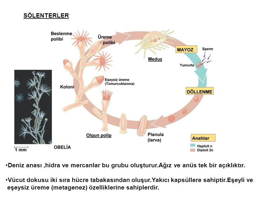 SÖLENTERLER Deniz anası ,hidra ve mercanlar bu grubu oluşturur.Ağız ve anüs tek bir açıklıktır.