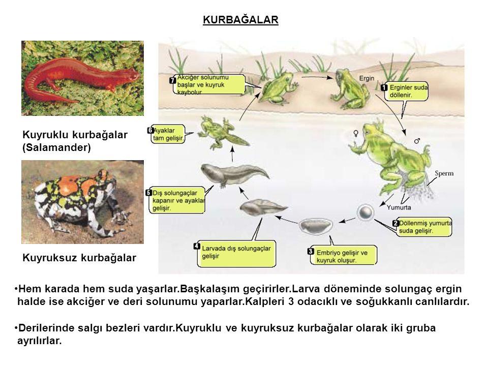 KURBAĞALAR Kuyruklu kurbağalar. (Salamander) Kuyruksuz kurbağalar.