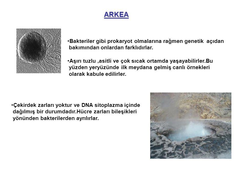 ARKEA Bakteriler gibi prokaryot olmalarına rağmen genetik açıdan