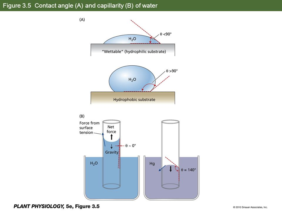 Figure 3.5 Contact angle (A) and capillarity (B) of water