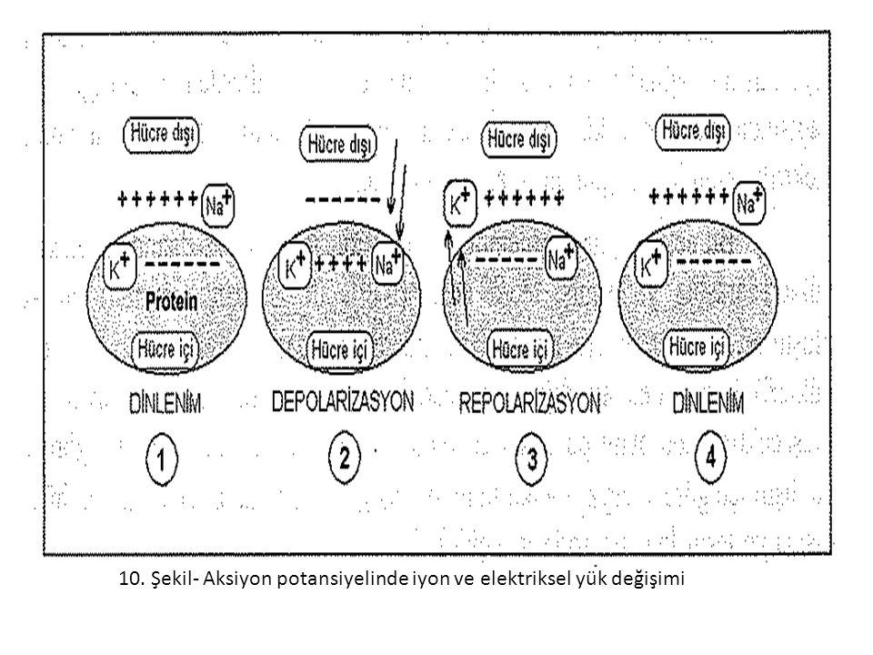 10. Şekil- Aksiyon potansiyelinde iyon ve elektriksel yük değişimi