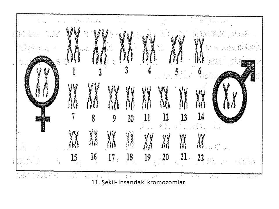 11. Şekil- İnsandaki kromozomlar
