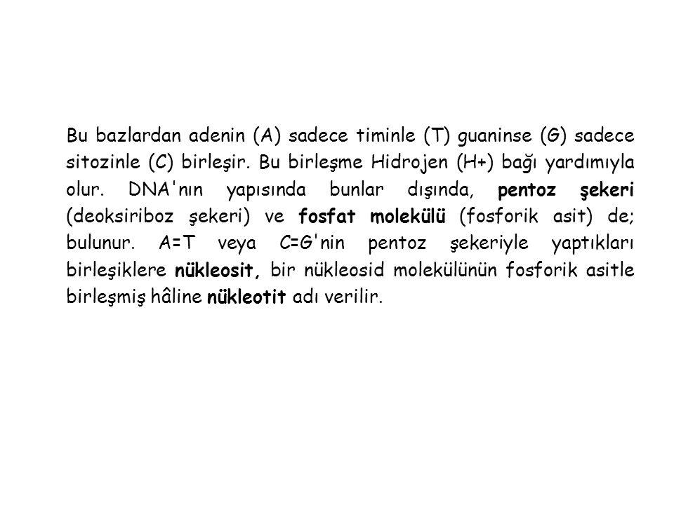Bu bazlardan adenin (A) sadece timinle (T) guaninse (G) sadece sitozinle (C) birleşir.