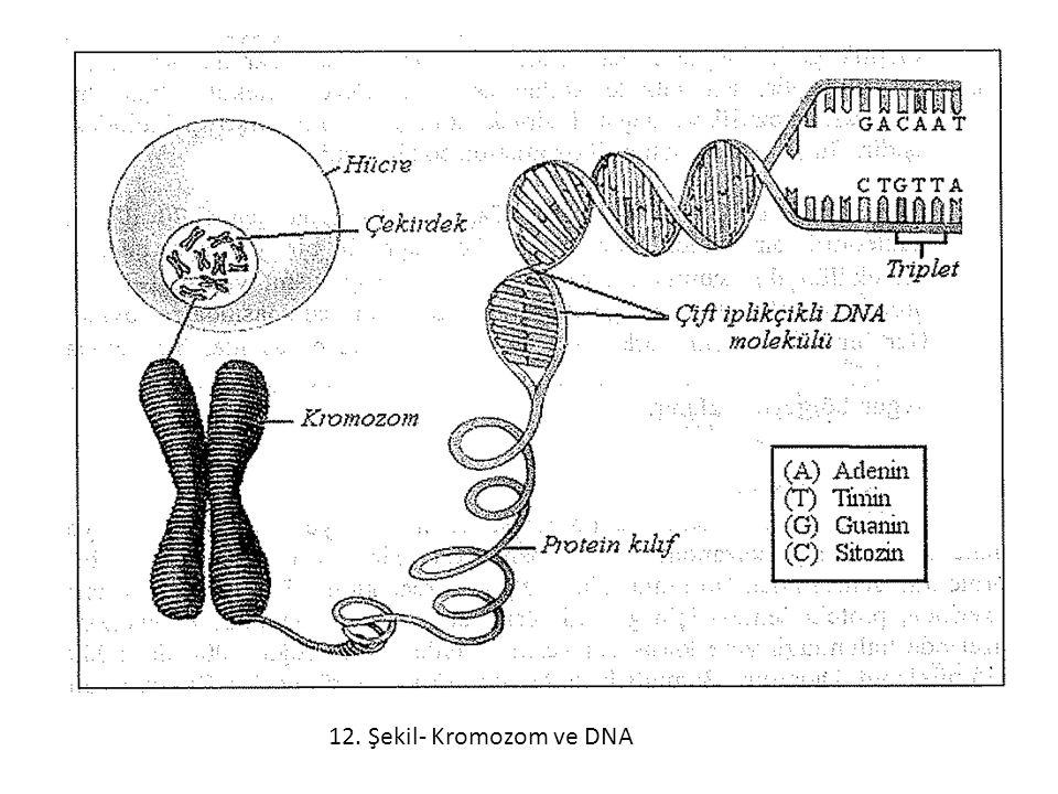 12. Şekil- Kromozom ve DNA