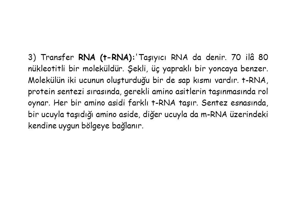 3) Transfer RNA (t-RNA): Taşıyıcı RNA da denir
