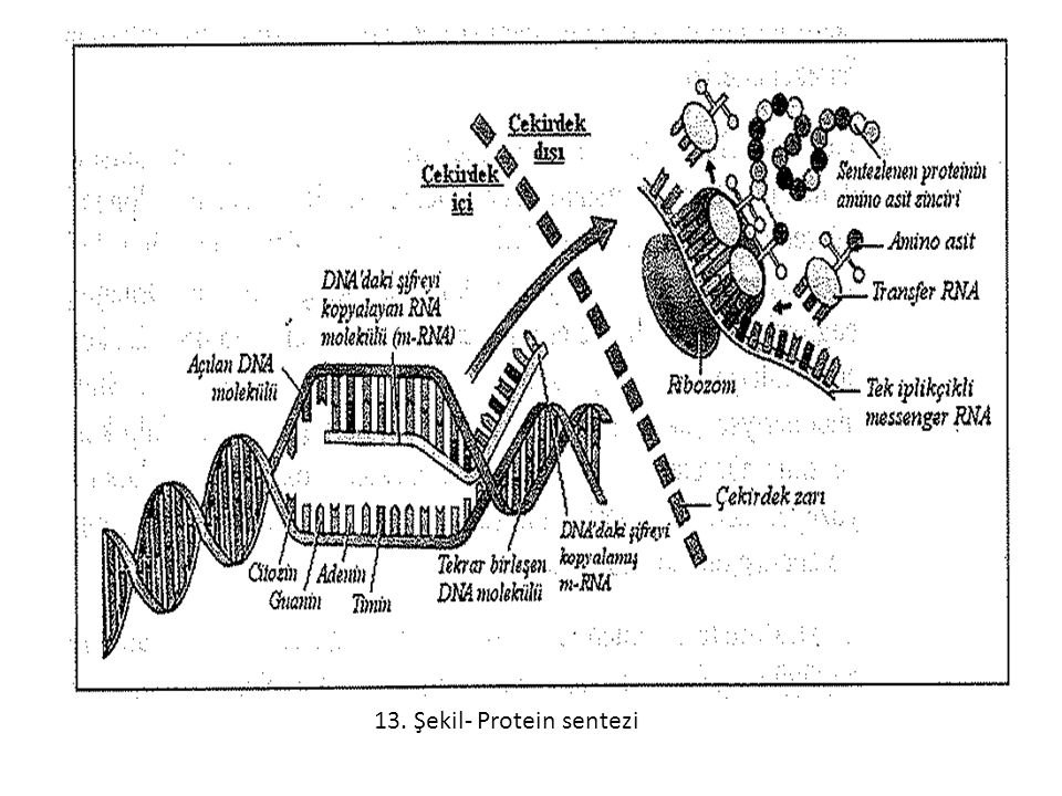 13. Şekil- Protein sentezi