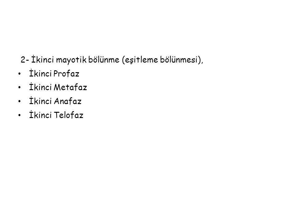 2- İkinci mayotik bölünme (eşitleme bölünmesi),