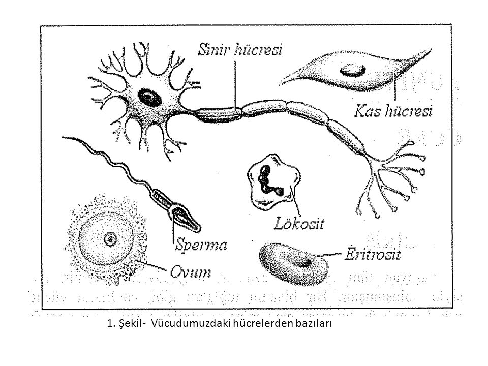 1. Şekil- Vücudumuzdaki hücrelerden bazıları