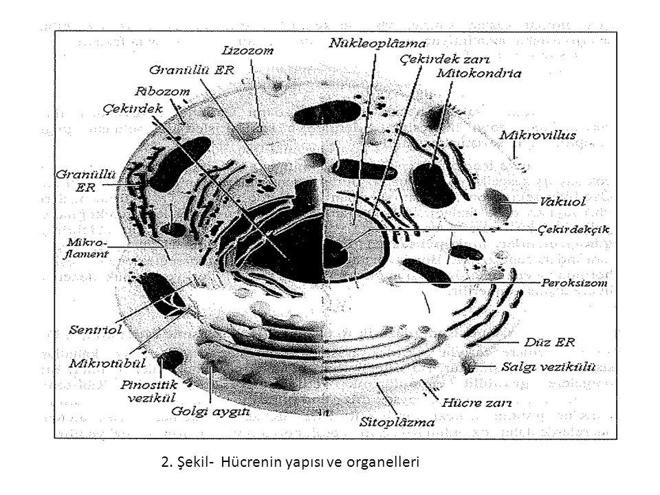 2. Şekil- Hücrenin yapısı ve organelleri
